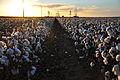 Cotton field kv20.jpg