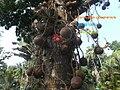 Couroupita guianensis.02.jpg