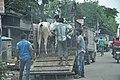 Cow Transportation - Dum Dum Road - Kolkata 2017-08-08 4032.JPG
