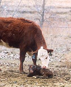 Lehmä Wikipedia