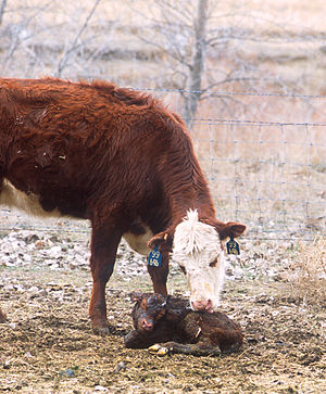 Cow-calf operation - A Hereford cow licks her newborn calf clean