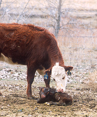 Cow–calf operation - A Hereford cow licks her newborn calf clean