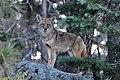 Coyote - Bandelier (4023582943).jpg