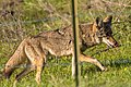 Coyote Licking his Chops after munching on a rodent (39319377945).jpg