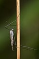 Crane Fly (Tipulomorpha) - Guelph, Ontario.jpg