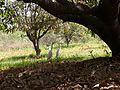 Cranes in mango garden.jpg