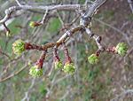 Crataegus-mollis-bud-break.jpg