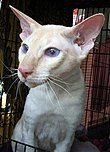 Cream-pointed Peterbald cat (male).jpg