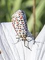 Crimson Speckled Moth on Cyprus.jpg