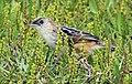 Croaking cisticola (Cisticola natalensis) (cropped).jpg