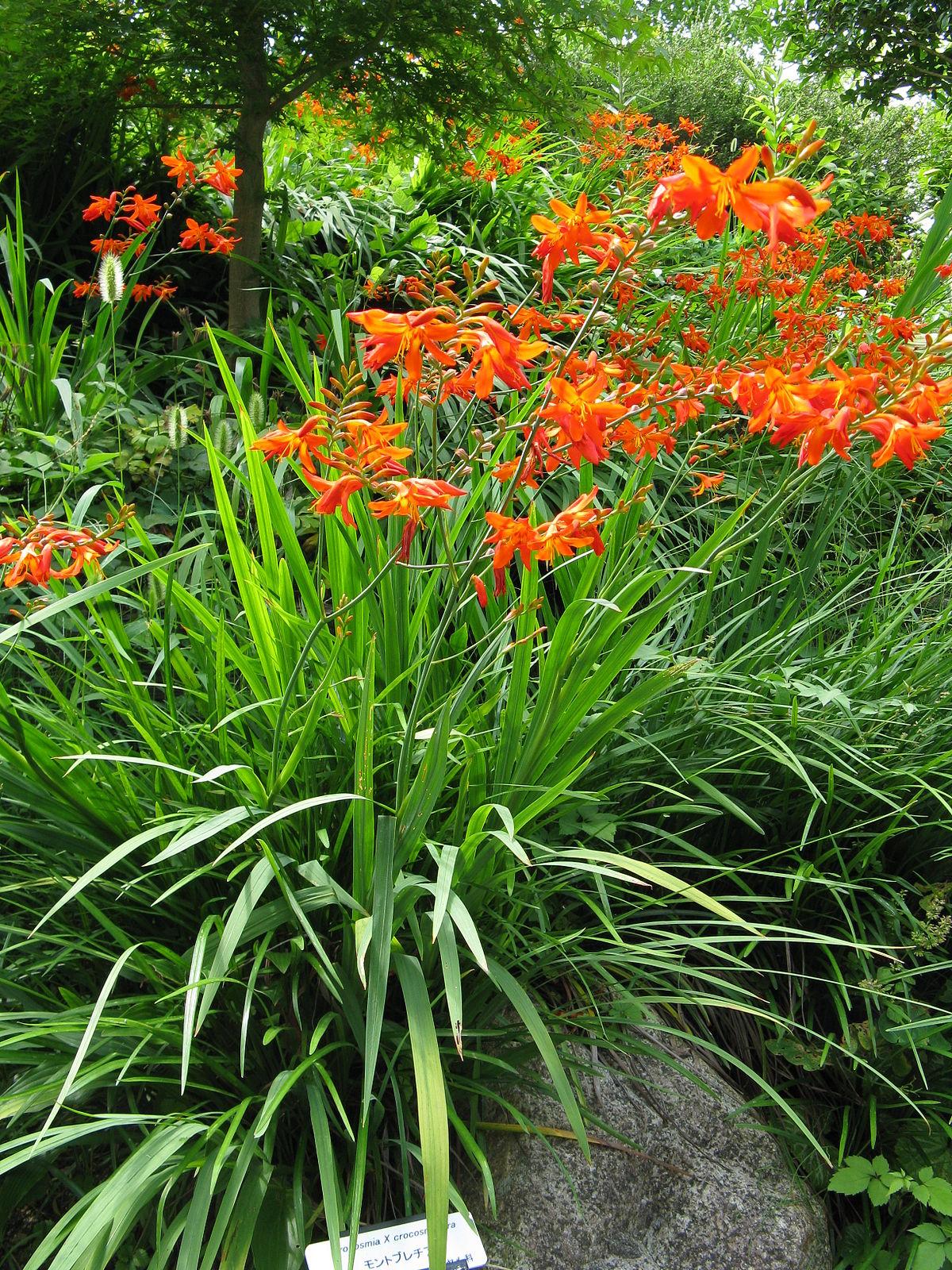 Crocosmia crocosmiiflora wikipedia for Crocs fleurs