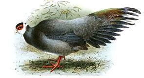 Harman-Ohrfasan (Crossoptilon harmani)Farblithografie von J. G. Keulemans