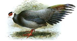 Tibetan eared pheasant Species of bird