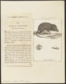 Crossopus fodiens - 1700-1880 - Print - Iconographia Zoologica - Special Collections University of Amsterdam - UBA01 IZ20900143.tif