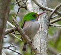 Cuban Tody. Todus multicolor - Flickr - gailhampshire.jpg