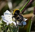 Cuckoo Bee Bombus bohemicus (24563853027).jpg