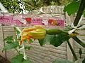 """Cucurbita pepo """"zapallo de Angola"""" semillería La Paulita - fruto día 00 (AM02) por la tarde, flor cerrada.JPG"""