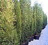 Cupressus leylandii 5 years old from cuttings, Ekoplant.jpg