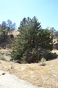 Cupressus nevadensis Hobo Ridge Grove (50) - Flickr - theforestprimeval.jpg