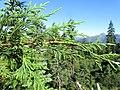 Cupressus nootkatensis at Bear Lake, Siskiyou County, California 5.jpg