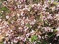 Cuscuta (barbas de raposo, herba de cuco) en flor - panoramio.jpg