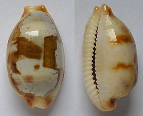 Description de l'image Cypraea stolida.jpg.