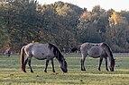 Dülmen, Merfeld, Dülmener Pferde im Merfelder Bruch -- 2018 -- 1686.jpg