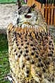 D85 1815Siberian Eagle Owl Photographed by Trisorn Triboon.jpg