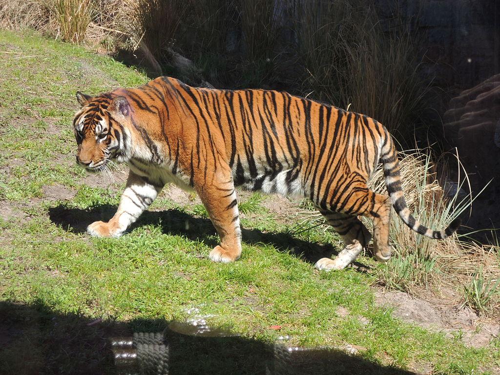 DAK Panthera tigris 02.JPG