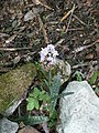 Dactylorhiza fuchsii2.jpg