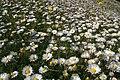 Daisies (Bellis perennis), Baltasound - geograph.org.uk - 1372014.jpg
