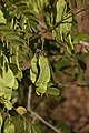 Dalbergia horrida fruit - ജടവള്ളി കായ.jpg
