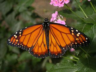 <i>Danaus erippus</i> southern monarch butterfly