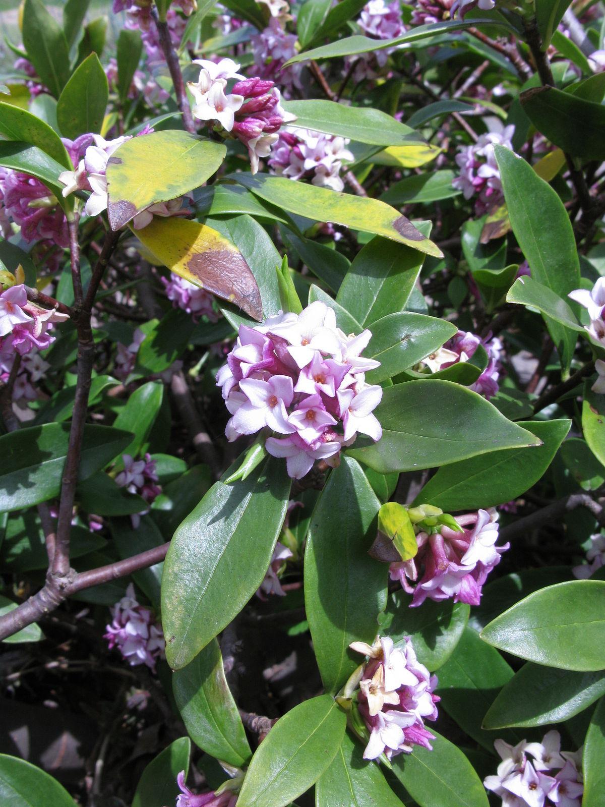 Daphne odora wikip dia for Arbuste daphne odora aureomarginata