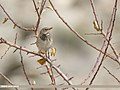 Dark-throated Thrush (Turdus ruficollis) (47047715871).jpg
