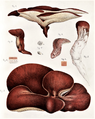 De Seynes - Fistulina hepatica.png