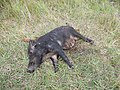 Dead Hog with live baby girl next to her - panoramio.jpg