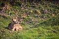 Deer (29181015).jpeg