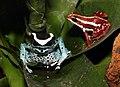Dendrobates-tinctorius-Epipedobates-tricolor.jpg