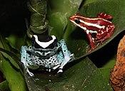 Dendrobates tinctorius var. Powderblue и Трёхцветный древолаз (лат.Epipedobates tricolor)