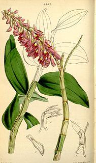 <i>Dendrobium secundum</i> Species of orchid