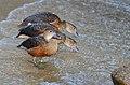 Dendrocygna javanica (Lesser Whistling Duck - Zwergpfeifgans) Weltvogelpark Walsrode 2012-004.jpg