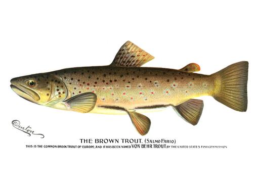 Denton Brown Trout 1896