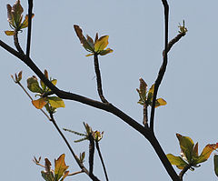 Desi Badam (Terminalia catappa) branches with new leaves & flower spikes in Kolkata W2 IMG 3260.jpg