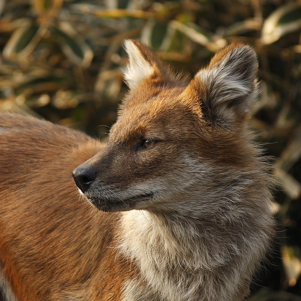Dhole in Ueno, Tokyo