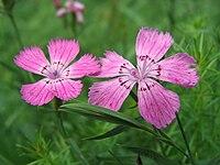 Dianthus collinus subsp. glabriusculus 01