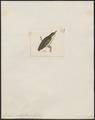 Dicaeum concolor - 1820-1860 - Print - Iconographia Zoologica - Special Collections University of Amsterdam - UBA01 IZ19000269.tif