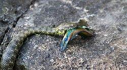 Dice Snake - Natrix Tessellata with a Ocellated Wrasse - Symphodus Ocellatus 01.jpg