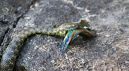 Dice Snake - Natrix Tessellata with a Ocellated Wrasse - Symphodus Ocellatus 01.jpg
