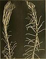 Die gestielten crinoiden der Siboga-expedition (1907) (20738013000).jpg